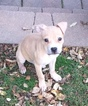 American Pit Bull Terrier Puppy For Sale in READING, PA,