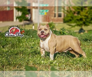 American Bully Mikelands  Puppy for sale in FT WORTH, TX, USA