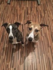 Lurcher-Whippet Mix Dogs for adoption in Hetton, Tyne and Wear (England), United Kingdom