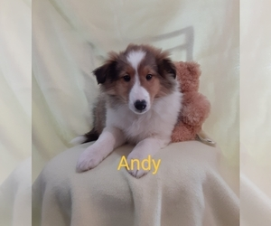 Shetland Sheepdog Puppy for sale in UNITY, WI, USA