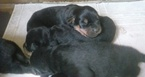 Rottweiler Puppy For Sale in HACKETT, AR,