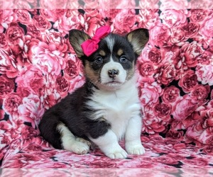 Pembroke Welsh Corgi Dog for Adoption in GLEN ROCK, Pennsylvania USA