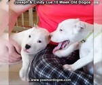 Small Photo #110 Dogo Argentino Puppy For Sale in PINEVILLE, MO, USA