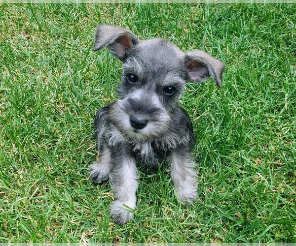 View Ad: Schnauzer (Miniature) Puppy for Sale near ...
