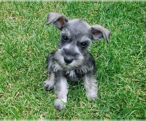 Schnauzer (Miniature) Puppy for sale in CHICAGO, IL, USA