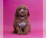 Puppy 6 Poodle (Miniature)