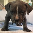 American Pit Bull Terrier Puppy For Sale in ARMUCHEE, GA, USA