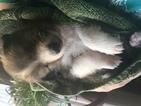 Shetland Sheepdog Puppy For Sale in MIDDLEBURG, FL