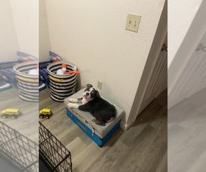 English Bulldog Dog for Adoption in CITRUS HEIGHTS, California USA