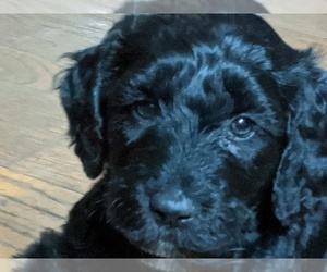 Labradoodle-Unknown Mix Puppy for sale in MIDDLETOWN SPRINGS, VT, USA