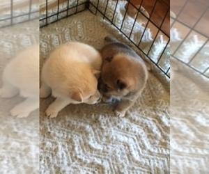 Shiba Inu Puppy for sale in NEWPORT, OR, USA