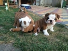 Bulldog Puppy For Sale in BALTIMORE, MD,