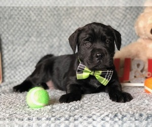 Cane Corso-Labradoodle Mix Puppy for sale in CLAY, PA, USA