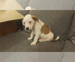 Puppy 1 Australian Shepherd-Beagle Mix