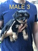 Shorkie Puppies Shih Tzu Yorkie Mix 1 Male left