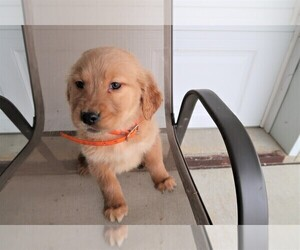 Golden Retriever Puppy for sale in DETROIT, MI, USA