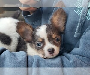 Chihuahua Puppy for sale in CHESAPEAKE, VA, USA