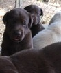 Labrador Retriever Puppy For Sale in TAYLORSVILLE, NC,