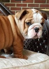 Bulldog Puppy For Sale in SPENCER, TN