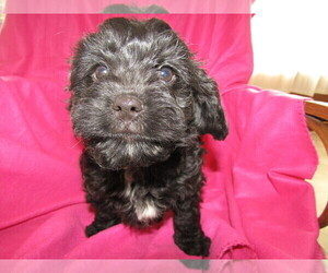 Cavapoo Puppy for sale in S BEND, IN, USA