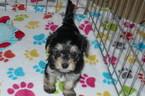 Havashire Puppy For Sale in TUCSON, AZ, USA