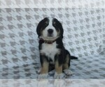Puppy 2 Greater Swiss Mountain Dog