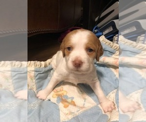 Brittany Puppy for sale in AIKEN, SC, USA