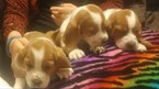 Basset Hound Puppy For Sale in CHICKASHA, OK, USA