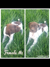 German Shorthaired Pointer Puppy For Sale in GALT, CA