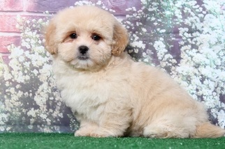 Medium Lhasa-Poo