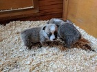 Pembroke Welsh Corgi Puppy For Sale in GERBER, CA, USA