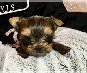 Yorkshire Terrier Puppy for Sale in AU SABLE, Michigan USA