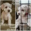 Schnauzer (Miniature) Puppy For Sale in CYPRESS, TX, USA