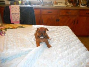 Chorkie Puppy For Sale in NATHALIE, VA, USA