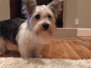 Yorkie-Poo Puppy For Sale in KERNERSVILLE, NC