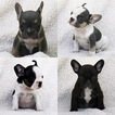 French Bulldog Puppy For Sale near 95350, Modesto, CA, USA