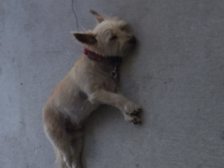 Cairn Terrier Puppy For Sale in PALM COAST, FL