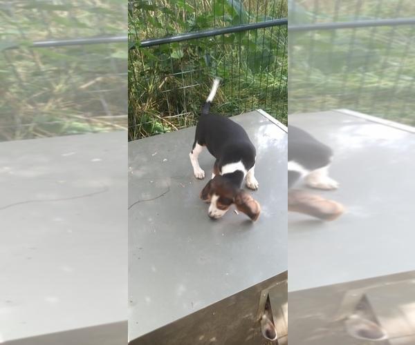 Medium Photo #17 Beagle Puppy For Sale in LAFAYETTE, IN, USA