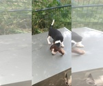 Small Photo #17 Beagle Puppy For Sale in LAFAYETTE, IN, USA