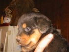 Rottweiler Puppy For Sale in SCOTTSDALE, Arizona,