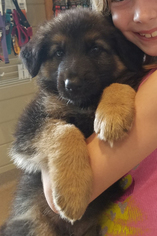 German Shepherd Dog Puppy for sale in REINHOLDS, PA, USA