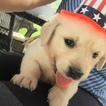 Golden Retriever Puppy For Sale in CENTERVILLE, UT, USA
