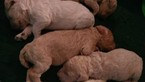 Poodle (Standard) Puppy For Sale in MILWAUKEE, WI, USA