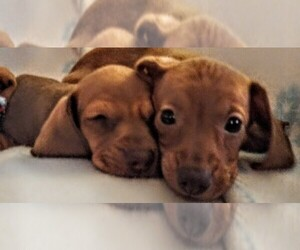 Dachshund Puppy for Sale in PLEASANT HILL, California USA