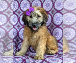Soft Coated Wheaten Terrier Puppy for sale in LEOLA, PA, USA