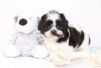 Shih Tzu Puppy For Sale in NAPLES, FL,
