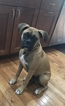 Boxer Puppy For Sale in WESTCHESTER, Illinois,