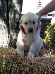 Golden Retriever Puppy For Sale in HAZLETON, PA, USA