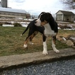 Greater Swiss Mountain Dog Puppy For Sale in EAST EARL, PA