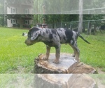 Puppy 2 Catahoula Leopard Dog